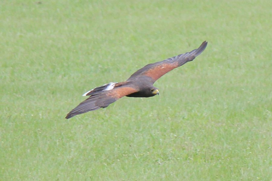 Brown African Kite